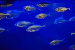 大西洋金枪鱼& x28; Trachurus trachurus& x29; 免版税库存照片
