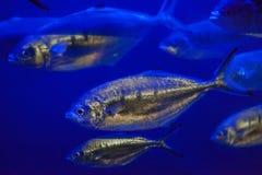 大西洋金枪鱼& x28; Trachurus trachurus& x29; 库存图片