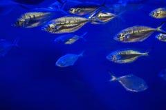 大西洋金枪鱼& x28; Trachurus trachurus& x29; 免版税库存图片