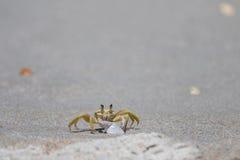 大西洋鬼魂螃蟹, Playalinda海滩,梅里特岛,佛罗里达 库存照片