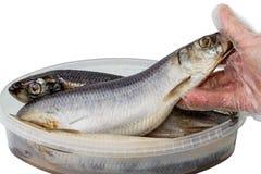 大西洋鲱鱼在手上 库存照片