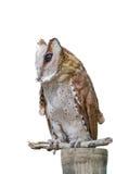 大角枭,腹股沟淋巴肿块Virginianus Subarcticus, st正面图  免版税库存照片