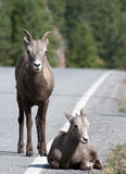 大角羊下来产小羊位于 免版税库存照片