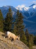 大角羊下降 免版税库存图片