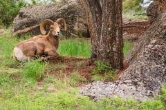 大角羊公羊休息的绵羊 免版税库存照片