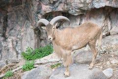 大角羊公羊绵羊 库存照片