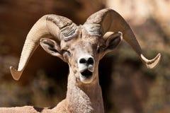 大角羊公羊绵羊 图库摄影