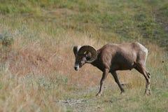 大角羊公羊绵羊 免版税库存照片