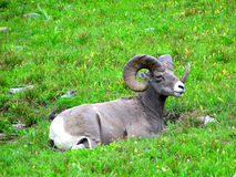 大角羊公羊 库存照片