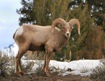 大角羊公羊 库存图片