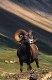 大角羊卷毛充分的公羊 库存照片