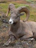 大角羊宁静的绵羊 库存图片