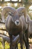 大角羊山岩石纵向的公羊 库存图片
