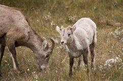 大角羊山岩石绵羊年轻人 库存照片
