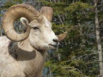 大角羊接近的公羊 库存照片