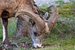 大角羊接近的绵羊 免版税库存照片