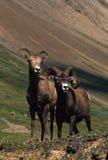 大角羊母羊公羊 库存图片