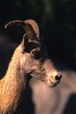 大角羊母羊纵向绵羊 免版税库存图片
