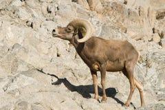大角羊沙漠绵羊 库存照片