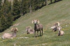 大角羊牧群 库存照片