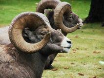 大角羊猛撞其它 免版税库存图片