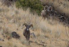 大角羊猛撞绵羊 库存图片