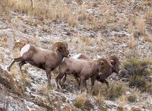 大角羊猛撞绵羊 免版税库存照片