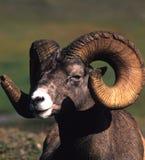 大角羊纵向公羊 免版税库存图片