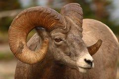 大角羊配置文件公羊 免版税图库摄影