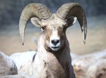 大角羊领导先锋公羊绵羊 库存照片