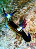 大角羊nembrotha nudibranch 库存图片