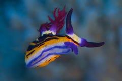 大角羊nembrotha nudibranch 免版税库存照片