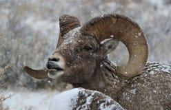 大角野绵羊公羊在大蒂顿国家公园冬天 嘴唇卷毛 库存照片