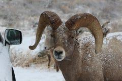 大角野绵羊公羊在大蒂顿国家公园冬天 免版税库存图片