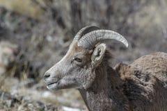 大角野绵羊在冬天寻找食物在落矶山,科罗拉多 免版税库存照片