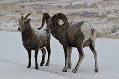 大角野绵羊在大蒂顿国家公园冬天 图库摄影