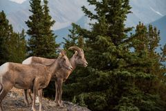 大角野绵羊在班夫国家公园-加拿大 免版税库存照片