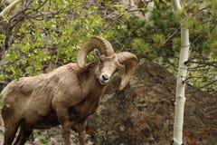 大角野绵羊在科罗拉多 库存图片