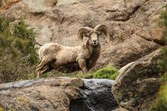 大角野绵羊在科罗拉多 免版税库存图片