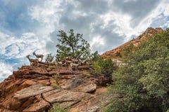 大角野绵羊在锡安国家公园 库存图片