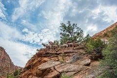 大角野绵羊在锡安国家公园 库存照片
