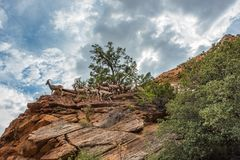 大角野绵羊在锡安国家公园 免版税图库摄影