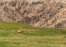 大角野绵羊在领域吃草在荒地下 库存图片