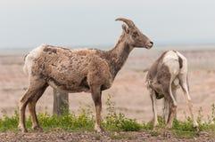 大角野绵羊对(Ovis canadensis) 免版税库存图片