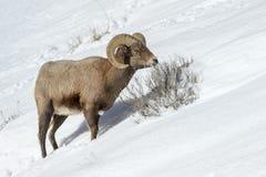大角野绵羊男性,走在雪 库存照片