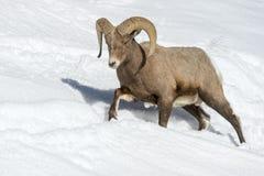 大角野绵羊男性,走在雪 免版税库存照片