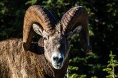 大角野绵羊羊属在外形的canadensis公羊,彼得Lougheed P 库存图片