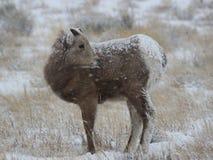 大角野绵羊羊羔在大蒂顿国家公园冬天 免版税图库摄影