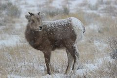 大角野绵羊羊羔在大蒂顿国家公园冬天 库存照片