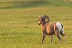 大角野绵羊通过象草的领域走 免版税库存照片